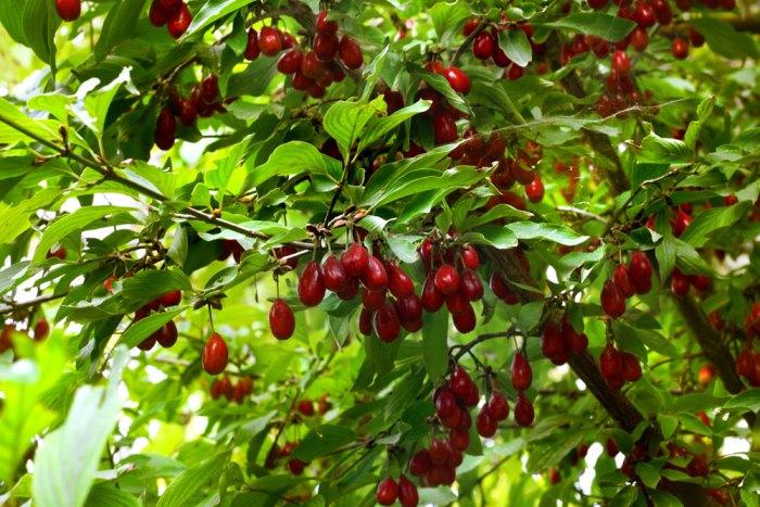 Сбор и хранение урожая ягод кизила