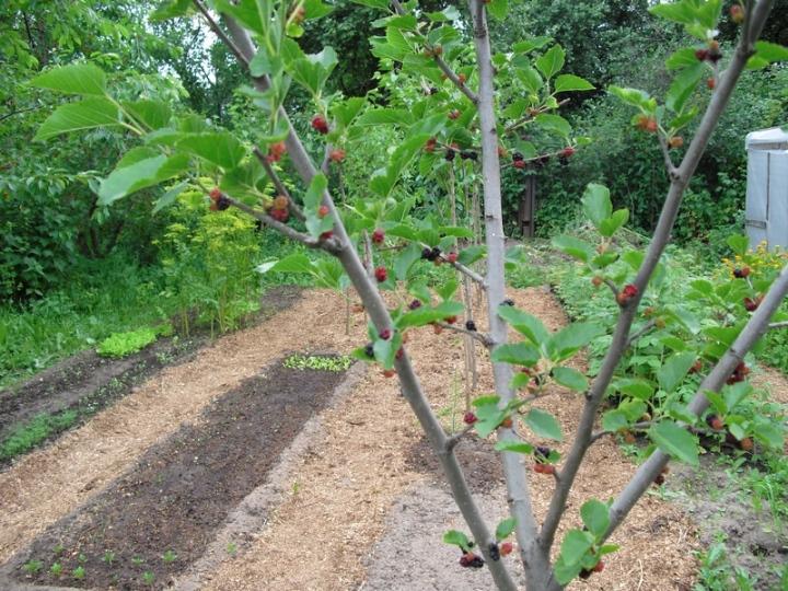 Секреты выращивания шелковицы, как правильно ухаживать за деревом