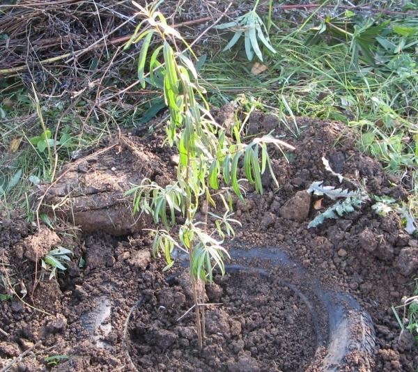 Схема посадки облепихи - как посадить в открытый грунт