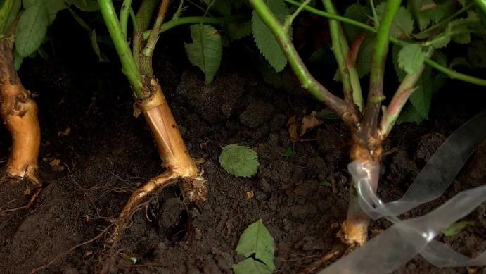 Способы размножения шиповника - черенкование