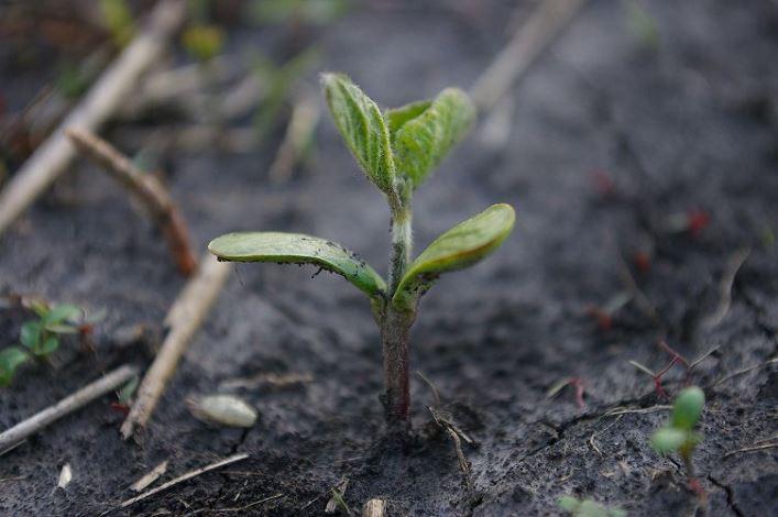 Технология выращивания сои - требования к участку