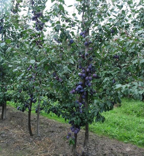 Требования к удобрению сливового дерева