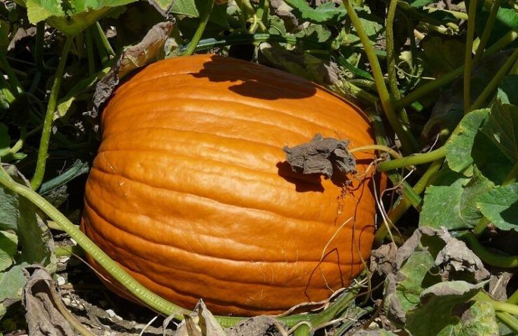 Тыква крупноплодная - сорта тыквы с огромными плодами
