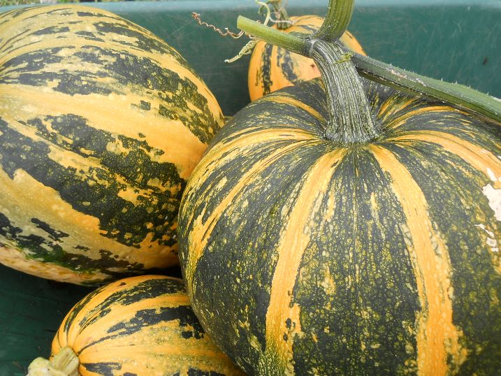 Тыква твердокорая - в каких случаях отдать предпочтение данному виду овоща