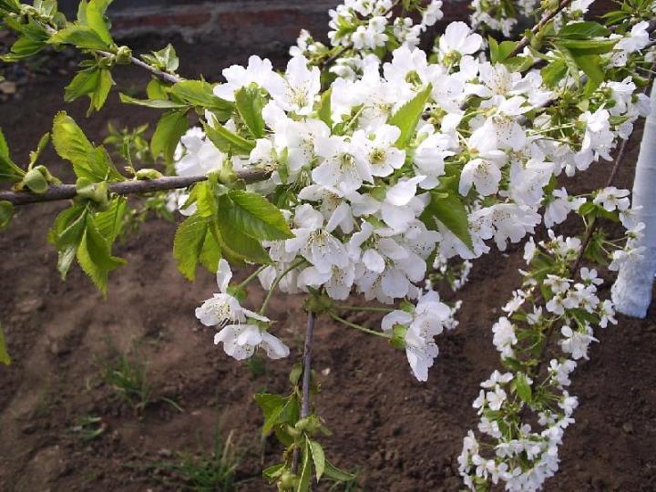 Уход за черешней весной