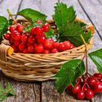 Калина красная: лечебные свойства и противопоказания