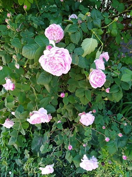 Выбор места для посадки шиповника (дикой розы)