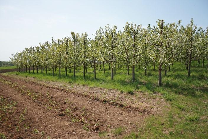 Выращивание черешни - сроки и схема посадки