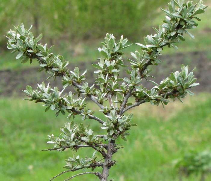 Выращивание облепихи - тонкости посадки и ухода за растением