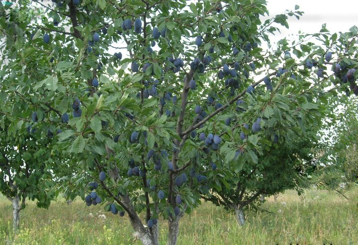 Выращивание сливы - оптимальный температурный режим