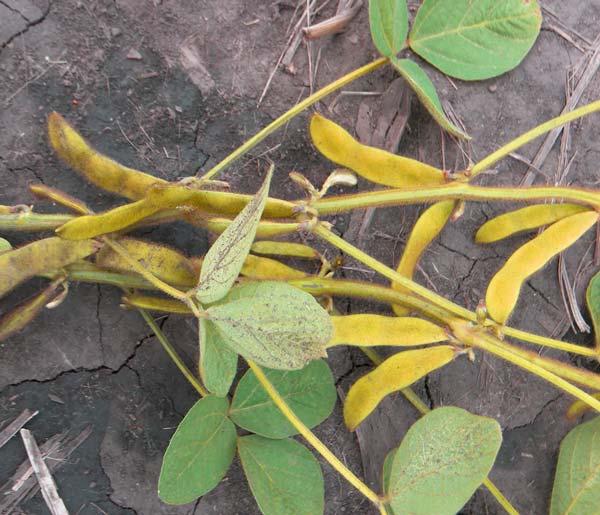 Выращивание сои на даче - полив, подкормка и удобрение растения