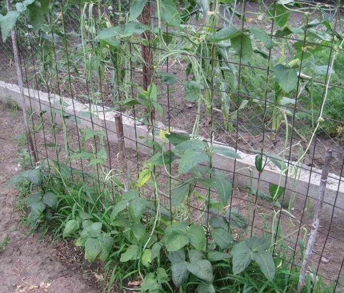 Выращивание спаржевой фасоли - послепосадочный уход