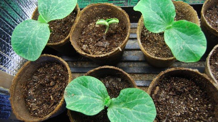 Выращивание тыквенной рассады - культивация тыквы в регионах с непродолжительным летом