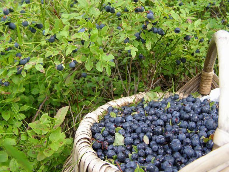 Высокоурожайные ягоды санберри - как получить урожай в своем саду