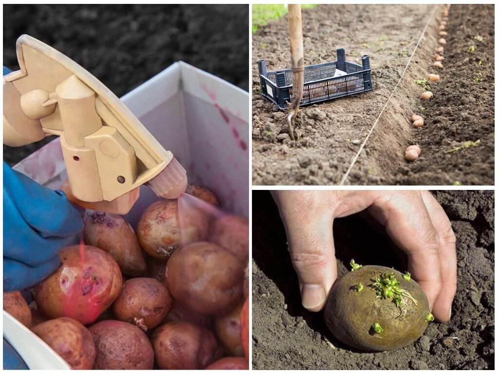 обработка картофеля марганцовкой