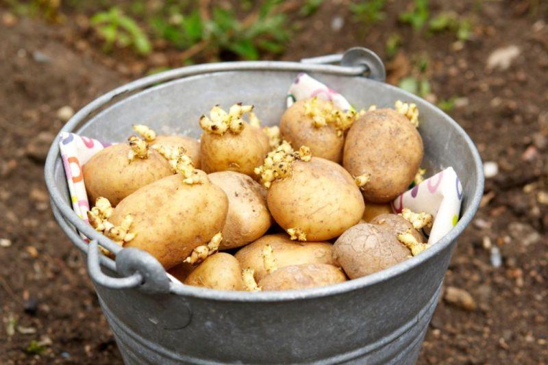 как правильно прорастить картофель