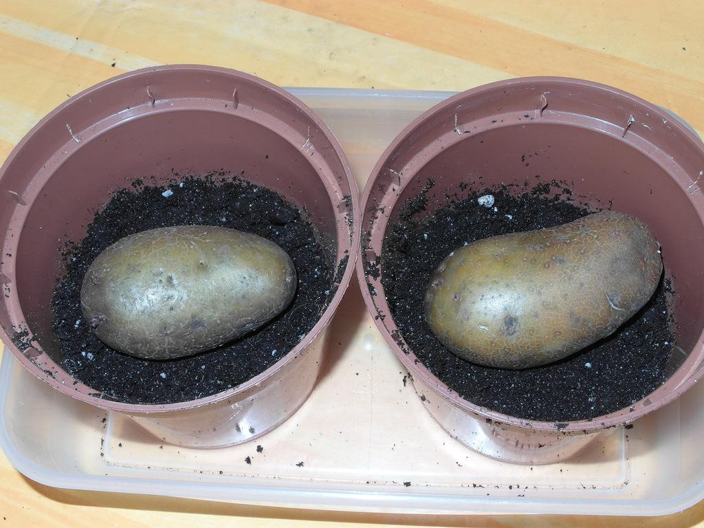 проращивание картофеля в горшках