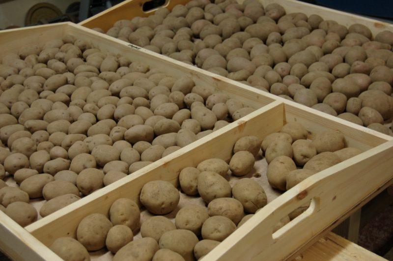 условия для проращивания картофеля