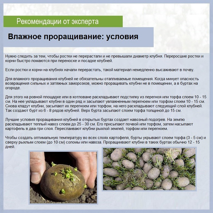 влажное проращивание картофеля