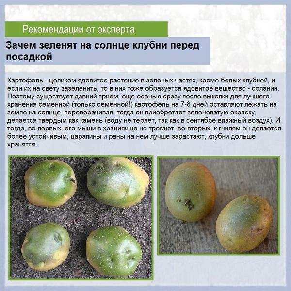 зеленение картофеля