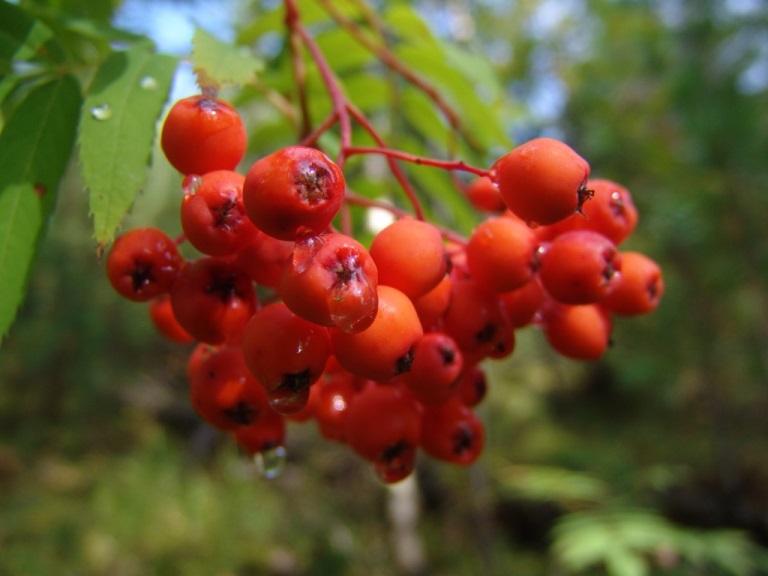 Чем полезны плоды красной рябины - состав ягод растения