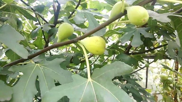 Инжир Далматский - популярный самоплодный высокоурожайный сорт
