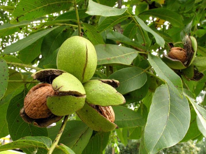 Как правильно собирать и хранить урожай грецких орехов