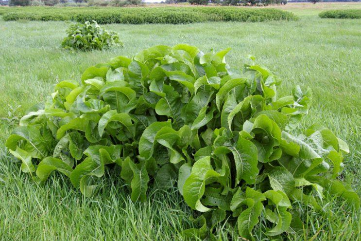 Как вырастить хрен из черенка на своем огороде