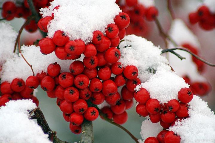 Когда заготавливать ягоды рябины красной на зимнее хранение
