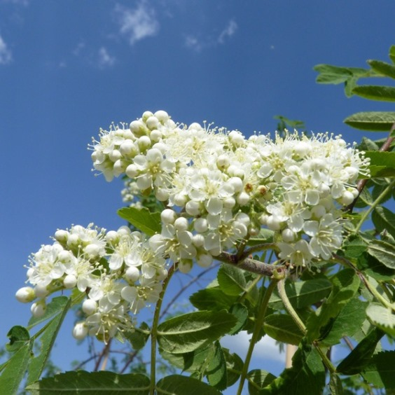Лечебные свойства цветов рябины обыкновенной