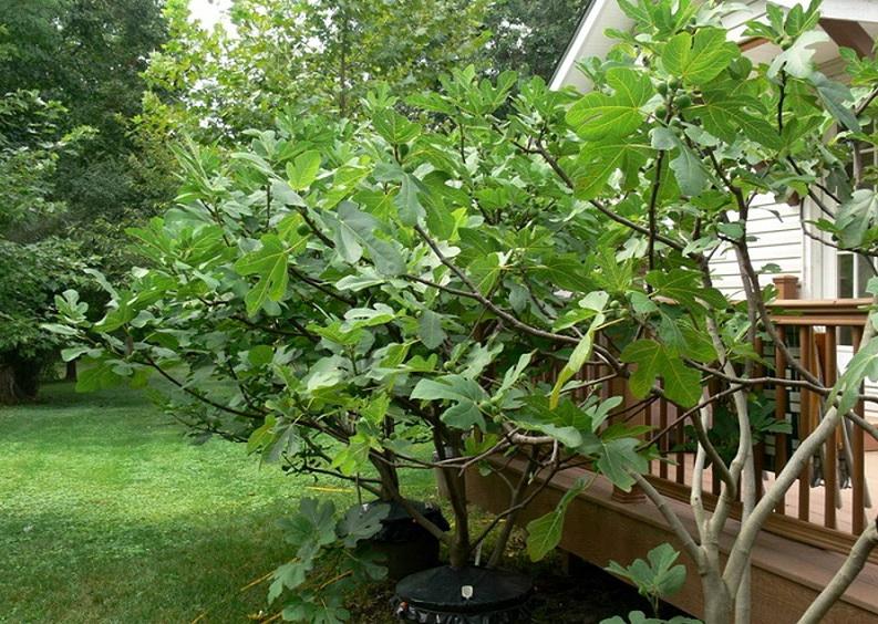 Можно ли вырастить инжир в открытом грунте - утепление деревца на зиму