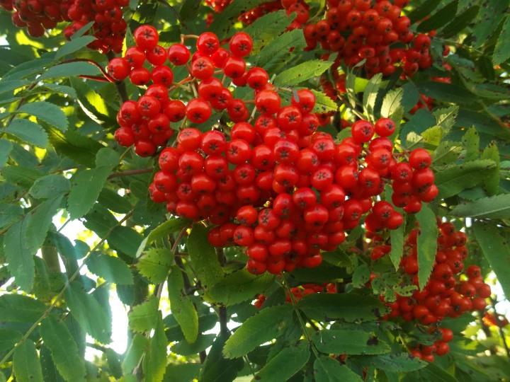 Описание красноплодной рябины обыкновенной
