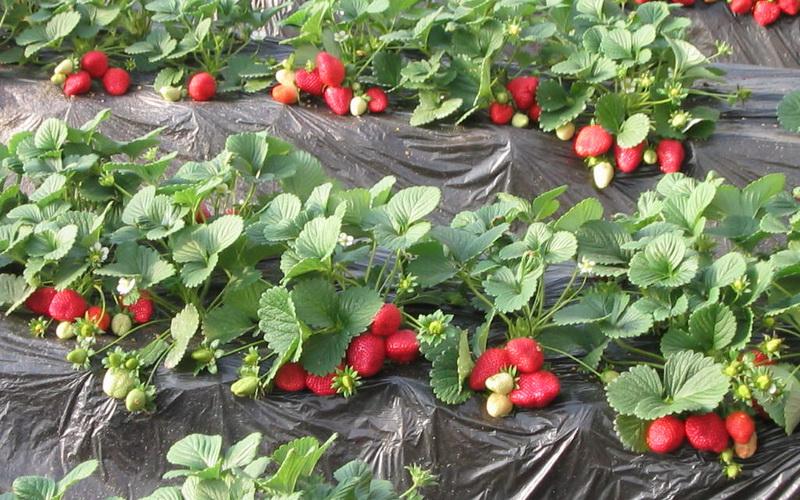 Особенности выращивания и ухода за земляникой ремонтантных сортов