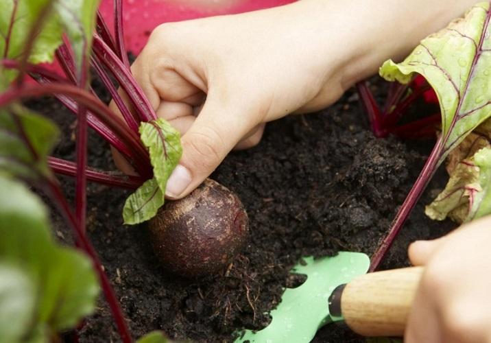 Подготовка свеклы к зимнему хранению - уборка урожая