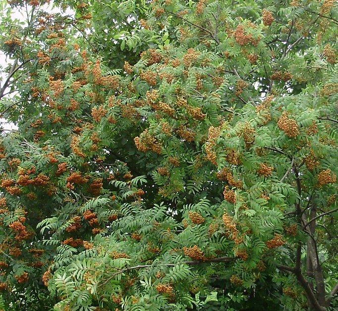 Польза коры и листьев рябины красной