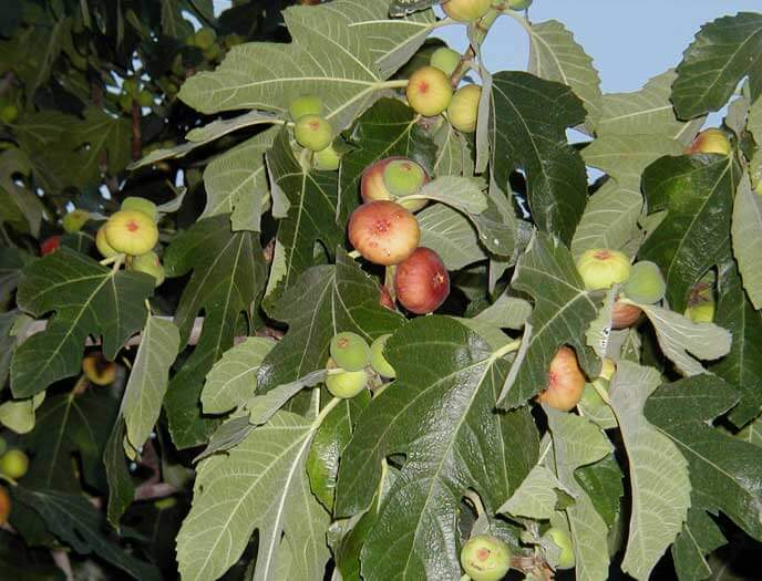 Сорт Кордерия - крупноплодный устойчивый к засухе сорт