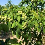 Грецкий орех как дерево на даче