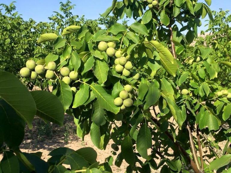 Советы по уходу за грецким орехом
