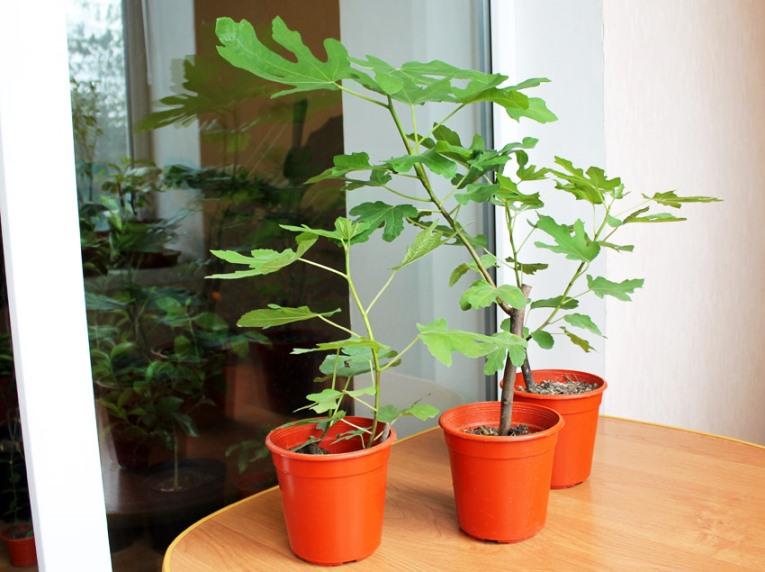Уход за инжиром в домашних условиях - выращивание из черенка