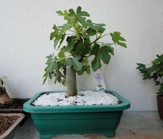 Выращивание инжира - выбор и подготовка посадочного материала