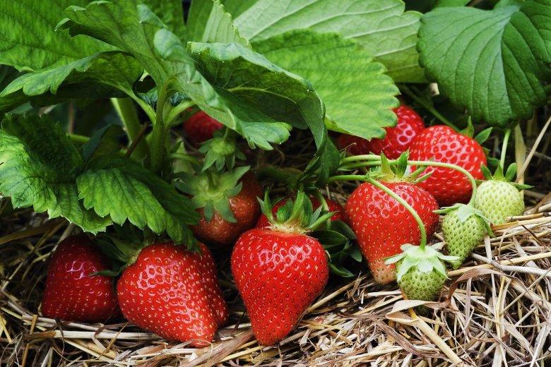 Земляника садовая - преимущества выращивания ягоды