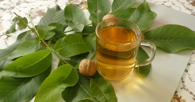 Как изготовить отвар из зеленых листьев грецкого ореха