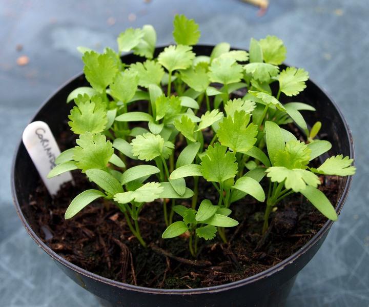 Как можно вырастить кинзу в домашних условиях - выращивание из семян