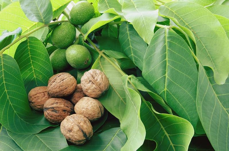Полезные свойства ядер, скорлупы, перегородок, листьев, коры грецких орехов