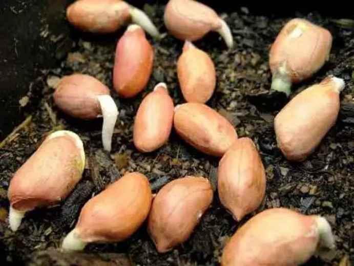 Проращивание семян арахиса перед посевом в грунт