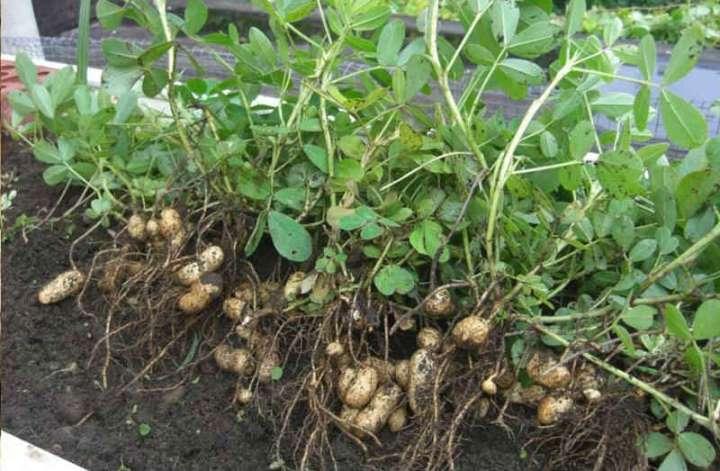 Сбор и хранение урожая арахиса