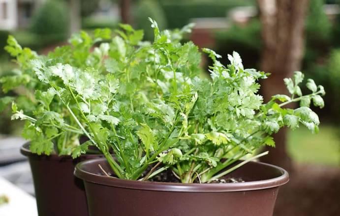 Уход за домашней кинзой - полив и подкормки ростков в горшках