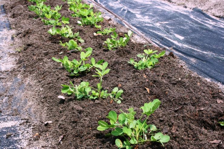 Выбор и подготовка участка перед посадкой земляного ореха арахиса