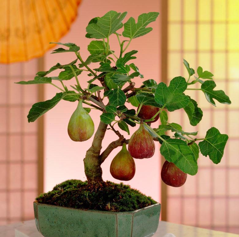 Южное плодовое дерево инжир фиговое дерево