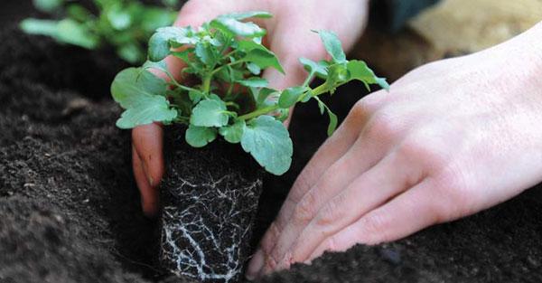 Подготовка рассады петунии к высадке в открытый грунт